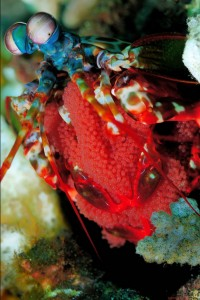 Peacock Mantis Shrimp - CC via http://bit.ly/1pEMFMV